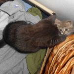 Iči Miluna, CityKitty, britské kočky