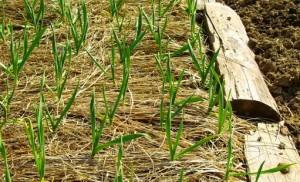 Mulčování. Ekozahradničení / ekologické zemědělství