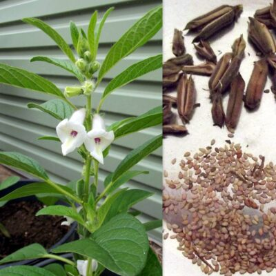 sezam-indický-obrazek od fair dinkum seeds