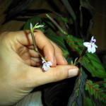 Květy maranty / maranta
