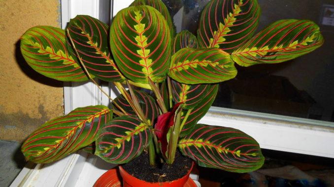 maranta-trojbarevna-tricolora