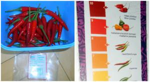 rawit chilli papričky