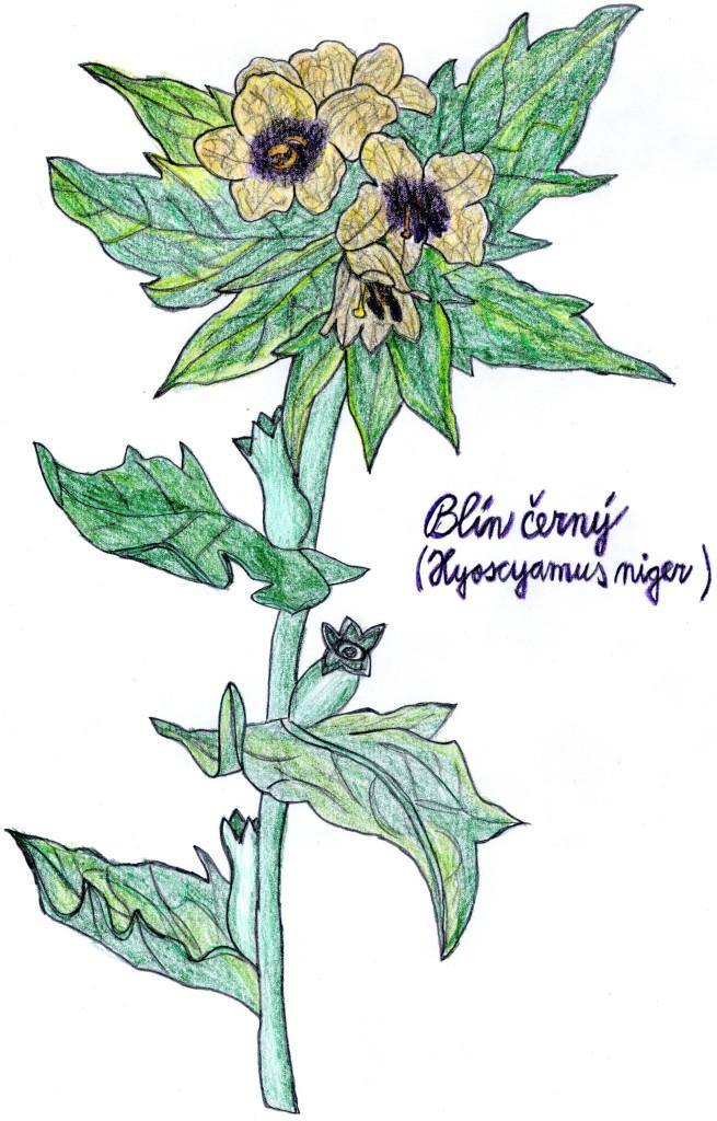blín černý (hyoscyamus niger)