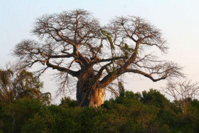baobab zdraví lifefood