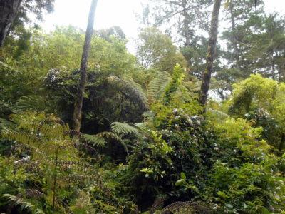 les / novy zeland / coromandel / stromy