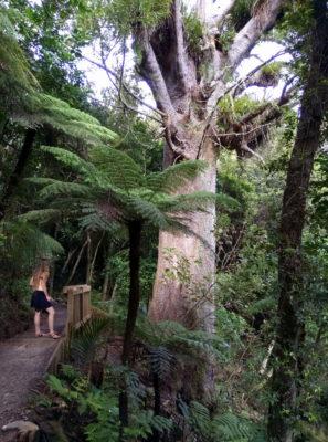 kauri-coromandel-novy-zeland